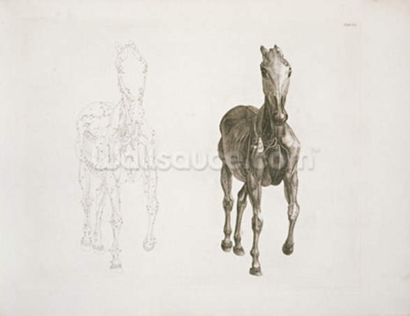 Tab. VIII, from The Anatomy of the Horse... 1766 (engraving) wallpaper mural