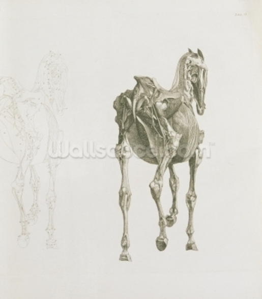 Tab. XV, from The Anatomy of the Horse..., 1766 (engraving) wall mural