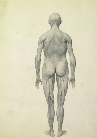 The Human Figure, anterior view, from the series A Comparative Anatomical Exposition of the Structure of the Human Body with that of a Tiger and a Common Fowl, 1795-1806 (graphite on paper) wall mural