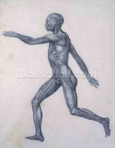 The Human Figure, lateral view, from the series A Comparative Anatomical Exposition of the Structure of the Human Body with that of a Tiger and a Common Fowl, 1795-1806 (graphite on paper) wallpaper mural