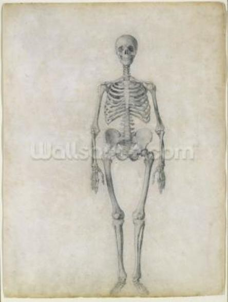 The Human Skeleton, anterior view, from the series A Comparative Anatomical Exposition of the Structure of the Human Body with that of a Tiger and a Common Fowl, 1795-1806 (graphite on paper) wall mural