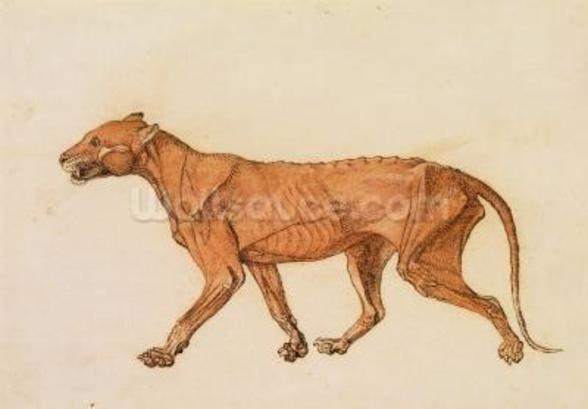 Tiger, Lateral View, Skin Removed, from A Comparative Anatomical Exposition of the Structure of the Human Body with that of a Tiger and a Common Fowl (red chalk and ink on paper) wall mural