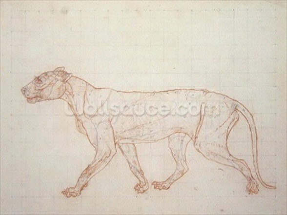 Tiger, lateral view, skin removed, illustration from A Comparative Anatomical Exposition of the Structure of the Human Body with that of a Tiger and a Common Fowl, 1795-1806 (red chalk and graphite on paper) wall mural