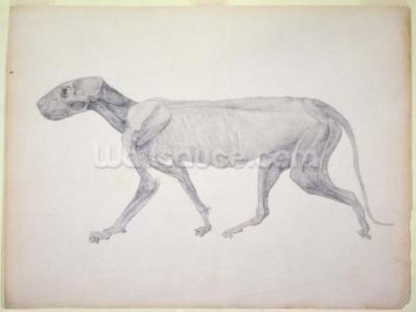 Tiger: Lateral View, Partially Dissected, from the series A Comparative Anatomical Exposition of the Structure of the Human Body with that of a Tiger and a Common Fowl (graphite on paper) wallpaper mural
