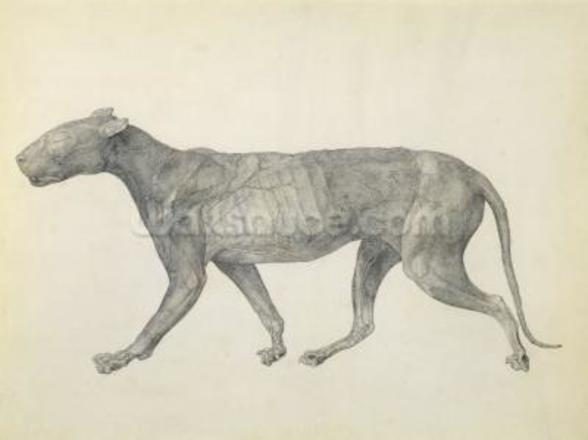 Tiger: Lateral View, with Skin and Tissue Removed, from the series A Comparative Anatomical Exposition of the Structure of the Human Body with that of a Tiger and a Common Fowl (graphite on paper) wall mural