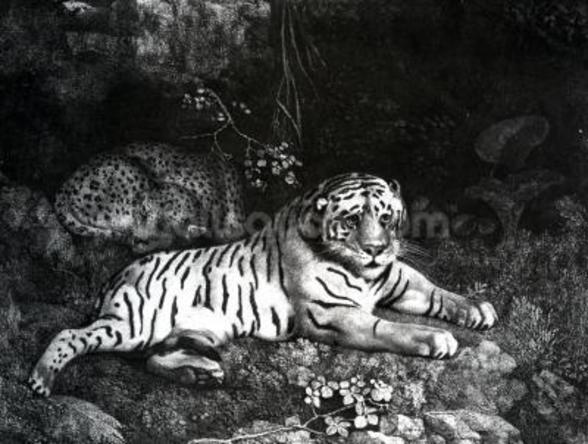 Two Tigers, 1788 (engraving) mural wallpaper