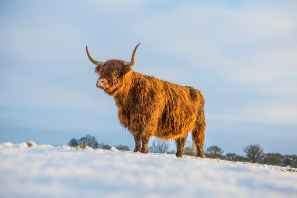 Highland Cow wallpaper mural
