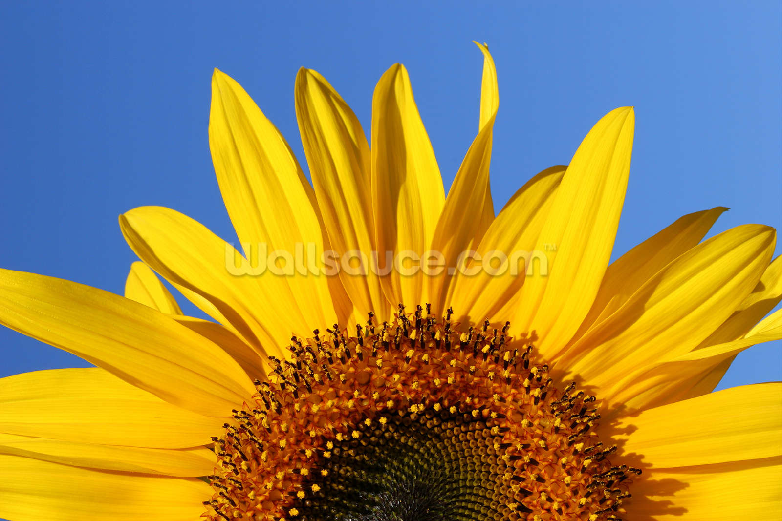 sunflower sunrise wall mural sunflower sunrise wallpaper image gallery sunflower murals