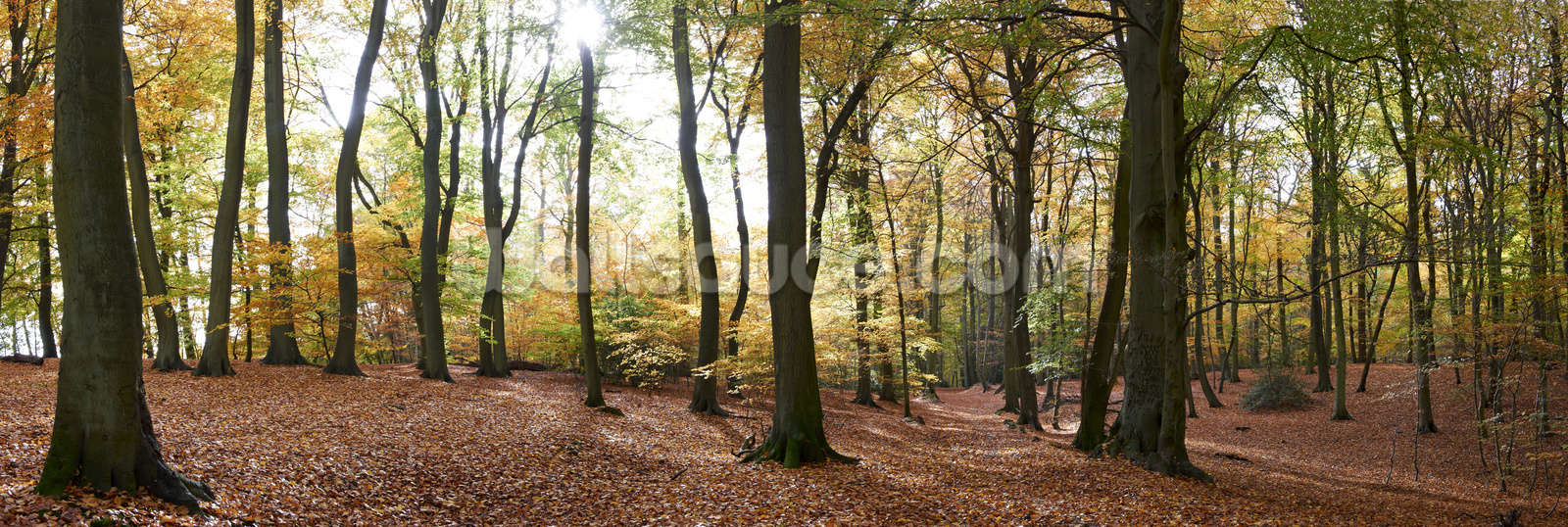 Autumn forest panoramic wallpaper wall mural wallsauce australia autumn forest panoramic wall mural photo wallpaper amipublicfo Images