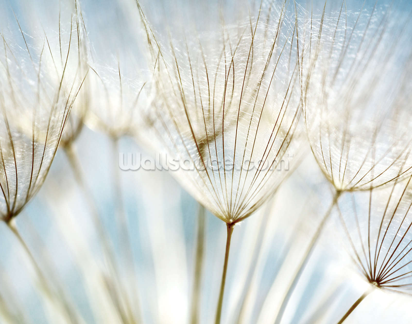 dandelions wallpaper wall mural wallsauce usa dandelions wall mural photo wallpaper