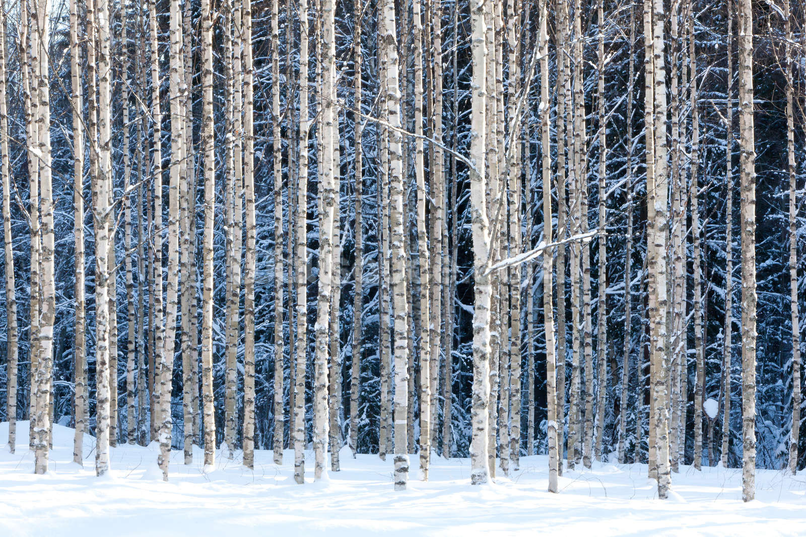 Snowy Birch Forest Wallpaper Wall Mural Wallsauce
