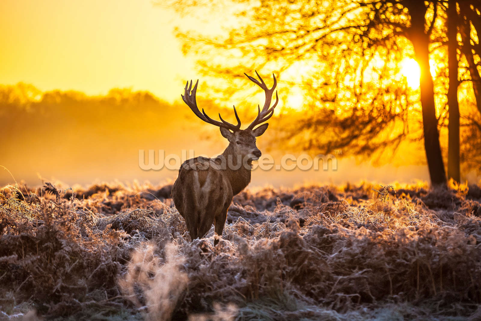 stunning red deer in morning sun wallpaper wall mural | wallsauce usa