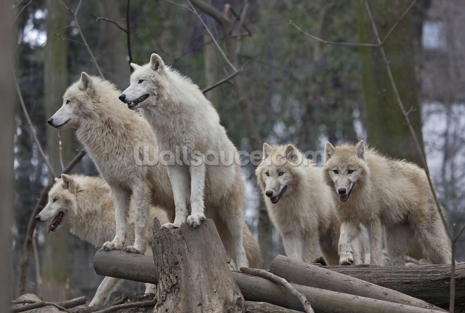 wolf wallpaper mural  Arctic Wolves Wallpaper Wall Mural | Wallsauce USA