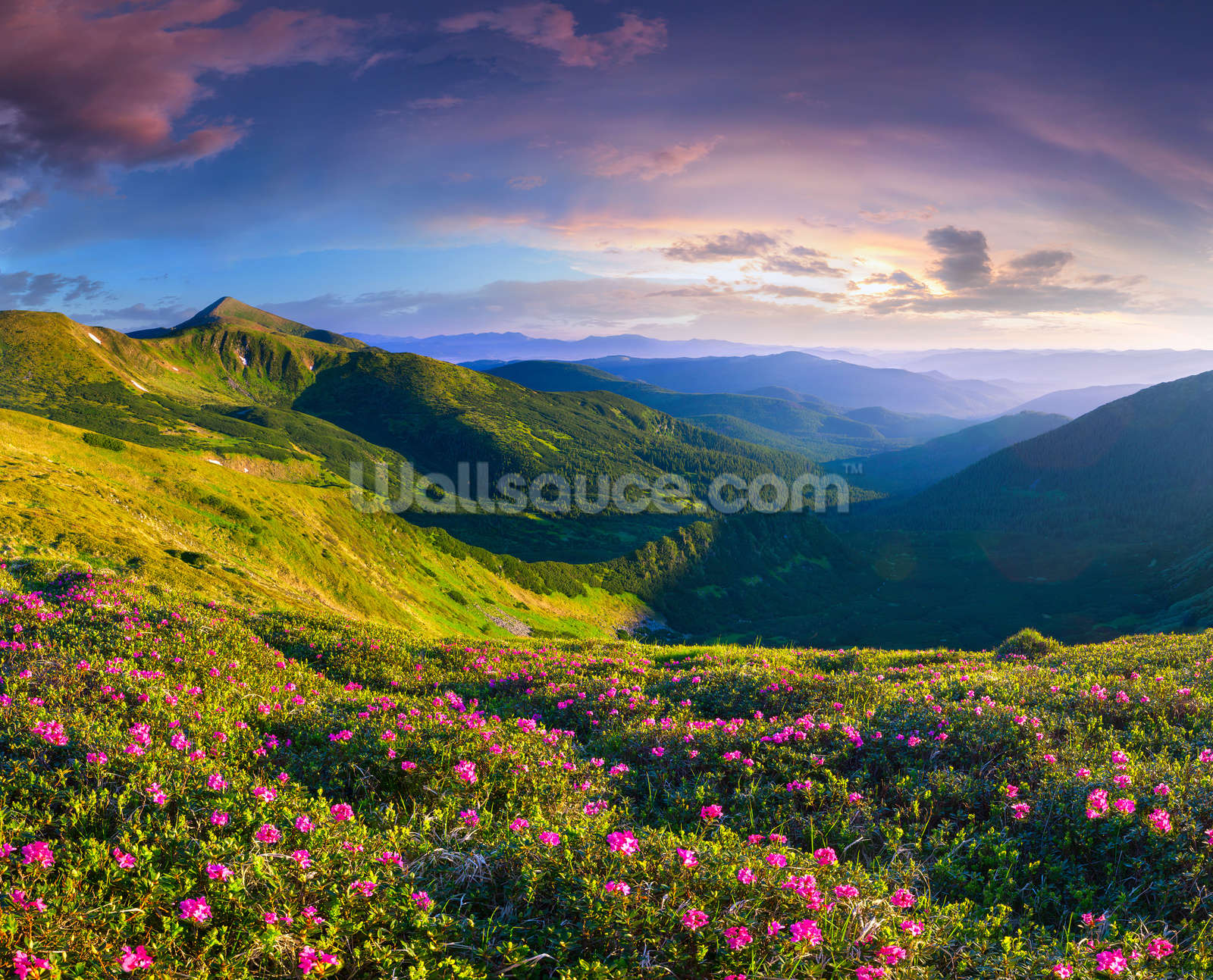 Wonderful Wallpaper Mountain Mural - 51505672magic-pink-rhododendron-flowers-the-mountains-summer-sunrise  Best Photo Reference_707989.jpg