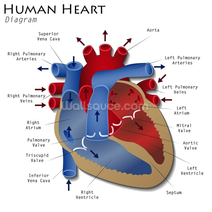 Human Heart Diagram Wallpaper Wall Mural Wallsauce Europe