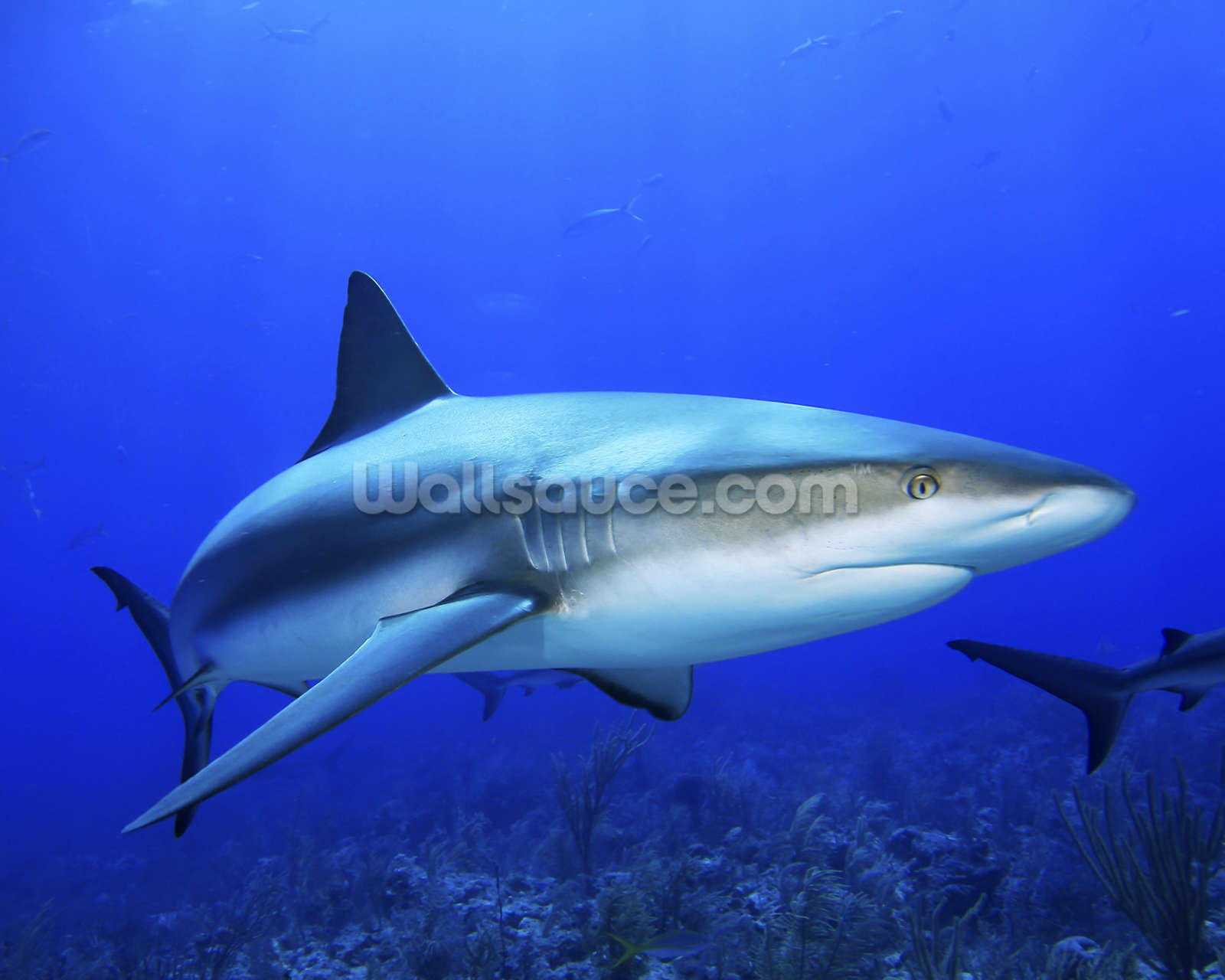 caribbean reef shark wall mural caribbean reef shark mural photo album 11296 mural photo album by edward luterio