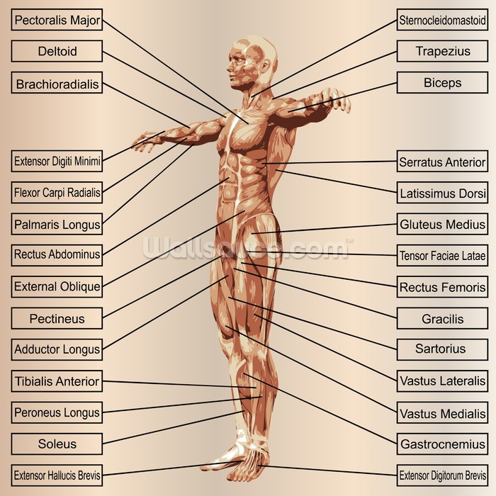 3D Human Male Anatomy with Muscles and Text Wallpaper Wall Mural ...