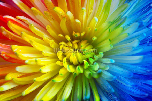 Rainbow Flower mural wallpaper