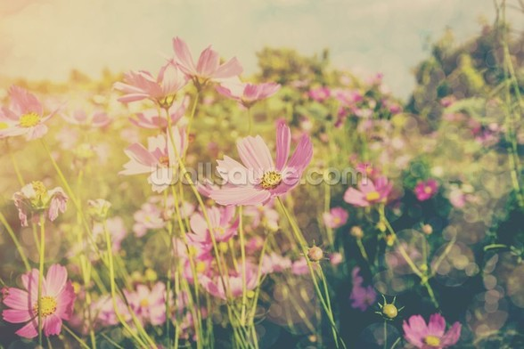 Cosmos Flowers and Sunlight Vintage Tones wall mural