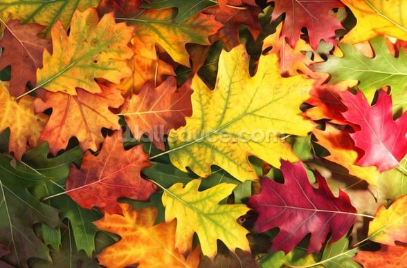 Colourful Autumn Oak Leaves mural wallpaper
