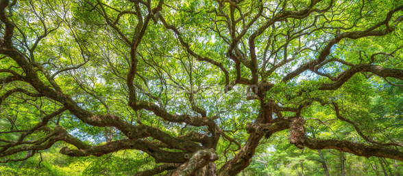 Angel Oak Tree Panoramic wall mural