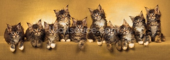 Kittens Panoramic wallpaper mural