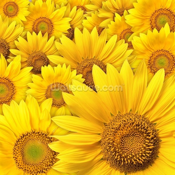 Sunflowers Bloom mural wallpaper