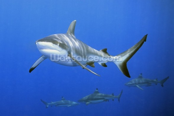 Shark School wall mural