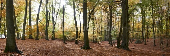 Autumn Forest Panoramic wall mural