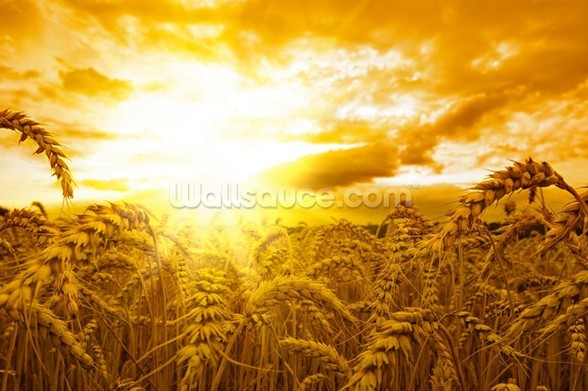 Sunset Over Wheat Field mural wallpaper