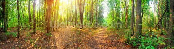 Sunny Day Forest Panorama wall mural