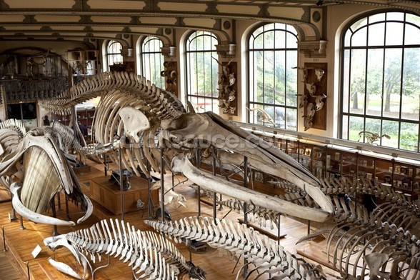 Dinosaur Skeleton, Paris Museum wall mural