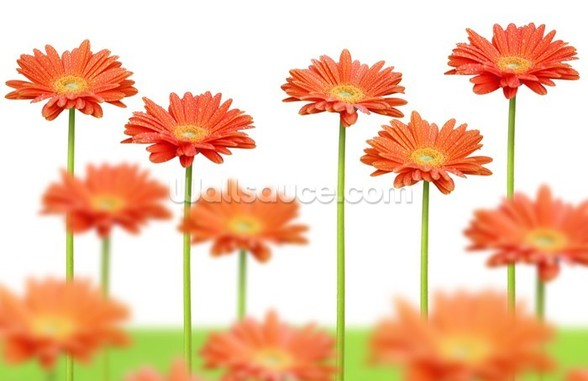 Orange Daisies wall mural