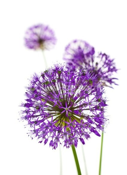 Beautiful Allium Flowers wall mural