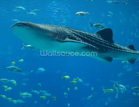 Whale Shark and Fish wall mural