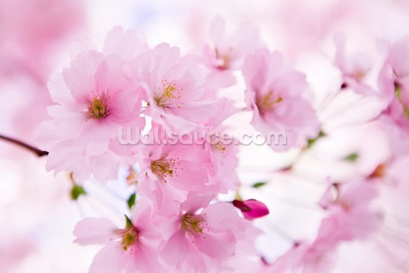 Japanese Cherry Tree in Blossom mural wallpaper