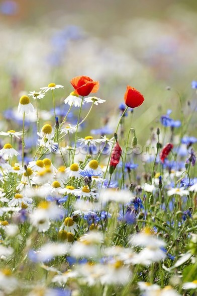 Wild Flower Meadow mural wallpaper
