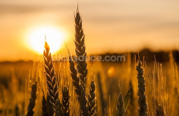 Wheat Stalk Sunrise wall mural