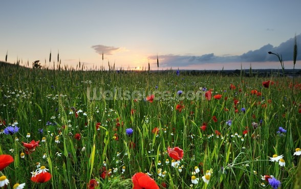 Poppy Fields wall mural