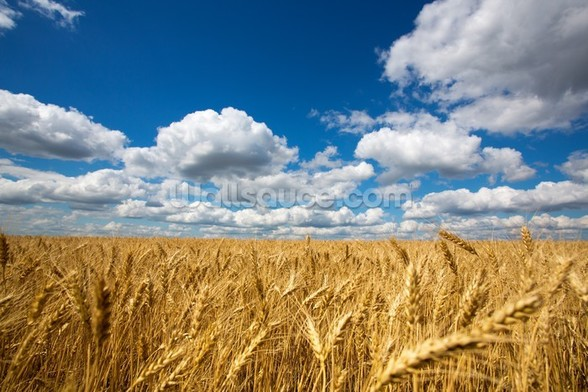 Wheat Field wallpaper mural