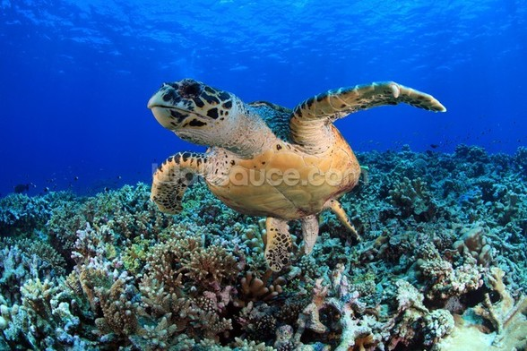 Sea Turtle in Tropical Waters wall mural