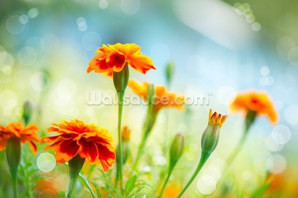 Tagetes Marigold Flowers mural wallpaper