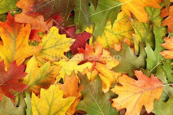 Oak Leaf Autumn Colour wall mural
