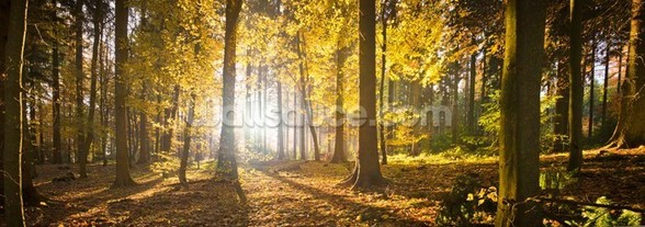 Bright Forest Sunlight wall mural