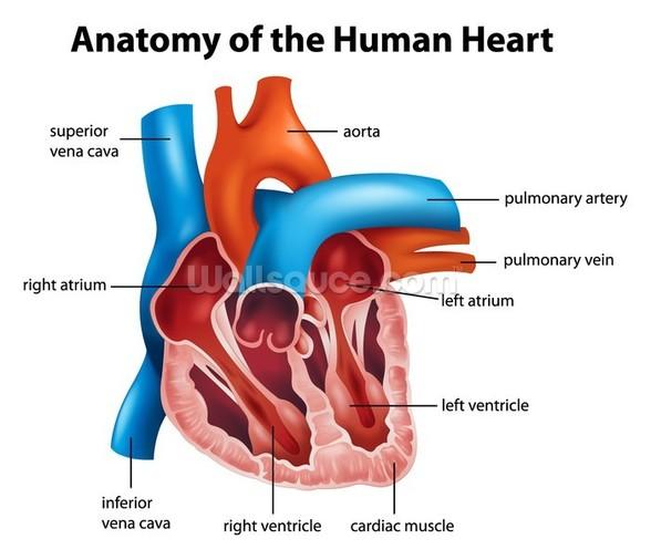 Human Heart Anatomy Wallpaper Mural Wallsauce Usa
