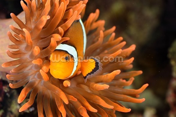 Clownfish in Marine Aquarium wallpaper mural