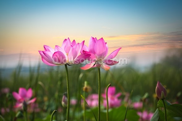 Lotus Flower in Sunset mural wallpaper