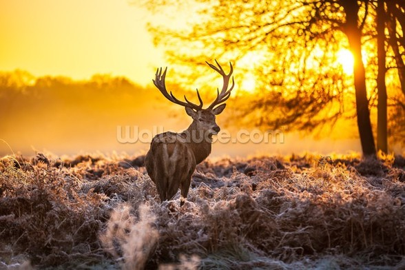 Red deer in morning sun wall mural