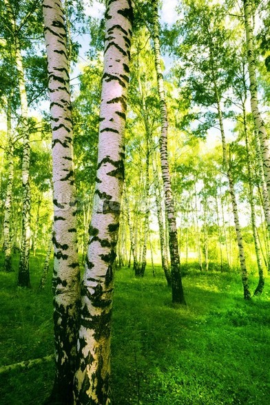 Birch Woodland wallpaper mural