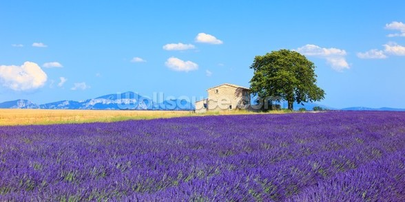 Provence - Lavender Flowers wall mural
